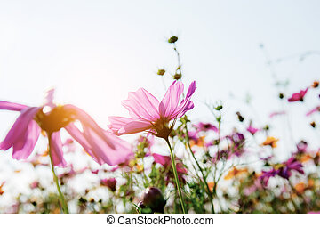 Cosmos with the sunlight.