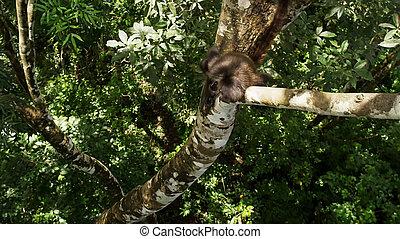 costa, aap, boompje, nationale, zwarte-aangevoerde, park,...