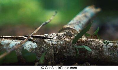 costa, haut, lent, motion), (180fps, leafcutter, fourmis, fin, rica