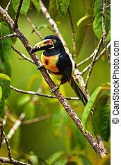 costa, naturliv, pteroglossus, bill., siddende, stor, collared, toucan, dyr, aracari, branch., rica., torquatus, fugl, rar