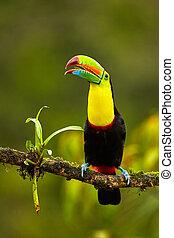 costa, naturliv, sulfuratus), reserve., tropisk, toucan, ...