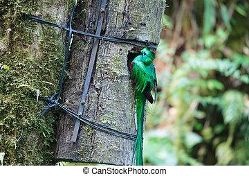 costa, quetzal, 鳥, 野生, monteverde, rica