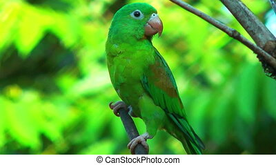 costa rica parrot close up