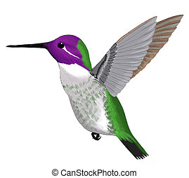 Costas Hummingbird - male Calypte costae