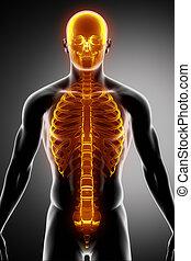 costillas, espina dorsal, y, cráneo, vista anterior