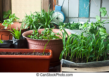 Cosy balcony garden - corn seedling and flowers