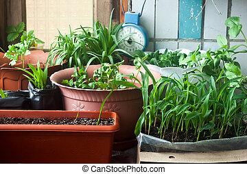 Cosy balcony garden - corn seedling and flowers
