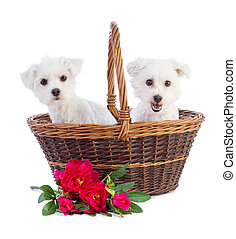 Coton de Tulear and Maltese Bichon in a basket with flowers