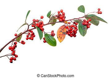 cotoneaster on white