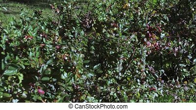 Cotoneaster pressed bush - Cotoneaster bushes pressed...