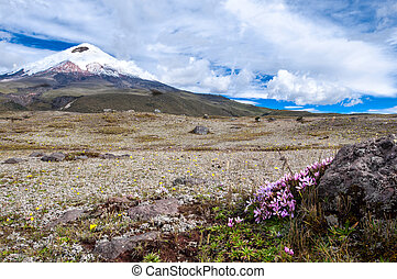 Cotopaxi volcano over the plateau, covered with flowering ...