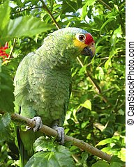 cotorra, papagaio, verde, de, américa central
