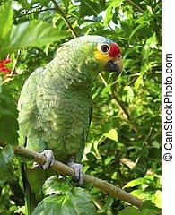 cotorra, papuga, zielony, z, środkowa ameryka