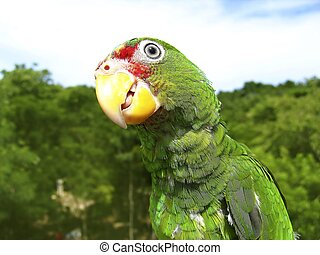 cotorra parrot green from Central America