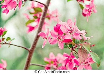 Cottage Chic Pink - pink blooms on a flowering tree in...