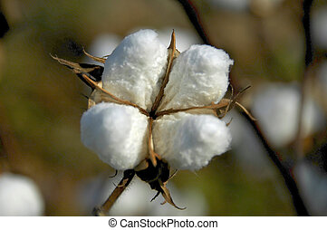 Close-up of cotton boll ready for harvest