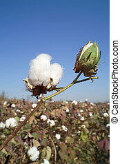 Cotton boll on  cotton branch