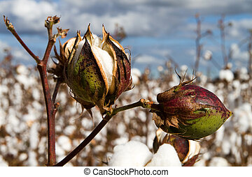 Cotton Bolls - Close up of two cotton bolls growing on the...