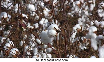 Cotton Bolls Field - Pull back view of a cultivated and...