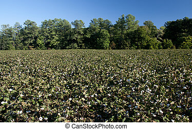 Cotton Bolls - The fluffy bolls of the cotton plant.