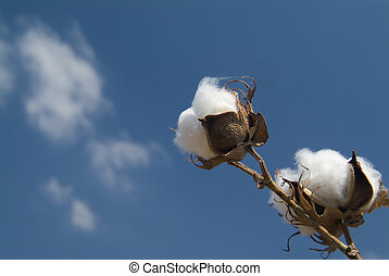 Cotton branch - Close-up of Ripe cotton bolls on branch...