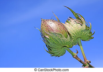 cotton bud in the blue sky