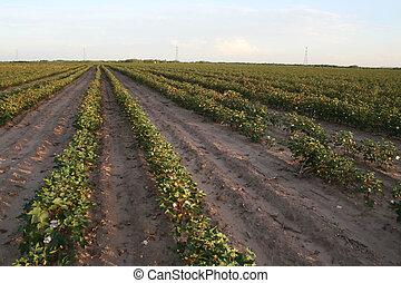 Cotton Farm