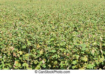 cotton farm field