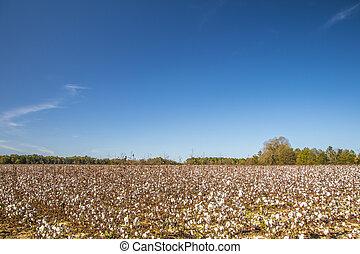 Cotton farm in rural Georgia during the Fall
