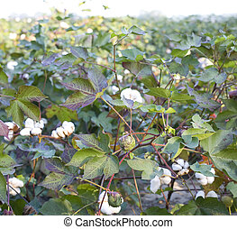 Cotton field - Field of ripening cotton in North Carolina at...