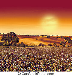 Cotton field in mysterious light