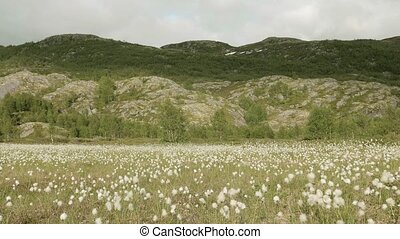 Cotton field in the Norway