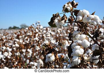 Cotton Field - Cotton in field on farm in Alabama.