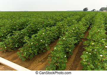 Cotton Field - Bright green cotton field on a cloudy day....