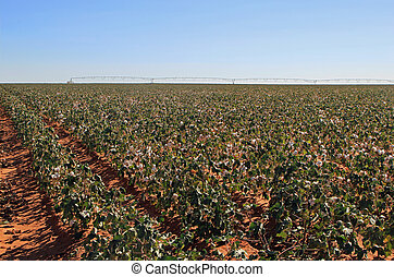 cotton field with irrigation system in background