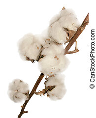 Cotton flowers - Dry cotton flowers on a white background