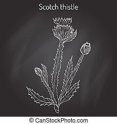 Cotton or Scotch Thistle Onopordum acanthium , medicinal plant