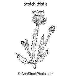 Cotton or Scotch Thistle Onopordum acanthium , medicinal...