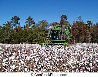 Cotton Picking - A cotton picker following the rows and...