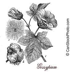 Cotton plant (gossypium), botanical vintage engraving -...