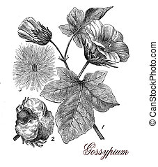 Cotton plant (gossypium), botanical vintage engraving -...