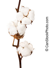 Cotton plant on a white background