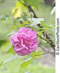 Cotton Rose Hibiscus Pink Flower - Hibiscus mutabilis, also ...