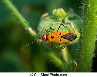 Cotton stainer, Red cotton bug, Red cotton steiner. Close up.
