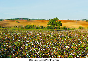 Cotton - Ripe Cotton Bolls on Branch Ready for Harvests