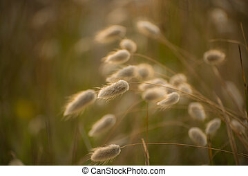 cotton tail grass backlit by the sunrise
