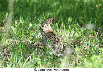 The Cottontail is widely distributed across North America, Central America, and South America, though most species are confined to particular regions.