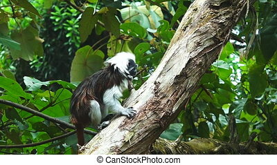 Cotton-top Tamarin climb on a tree - Cotton-top Tamarin...
