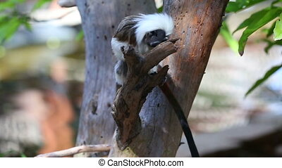 Cotton-top Tamarin Monkey - Cotton Headed monkey playing in...