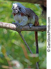 Cotton-top tamarin on a tree